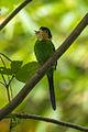 Long-tailed Broadbill - Kang Kra Chan NP - Thailand S4E4744 (14256232862) (2).jpg