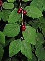 Lonicera xylosteum 3 RF.jpg
