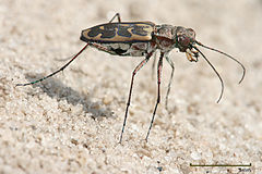 Lophyra sp Tiger beetle edit1.jpg