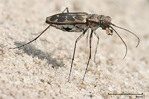 Tiger beetle - Lophyra sp in Tanzania