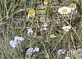 Lycaena phlaeas - Common Copper 03.jpg