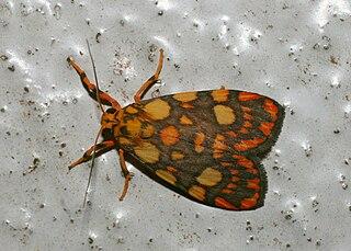 <i>Lyclene</i> Genus of moths