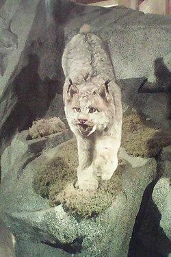 Lynx du Canada (Lynx canadensis)