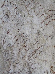 MCBG Eucalyptus major Bark 01.JPG