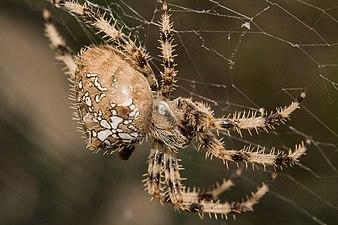 Macro photography of spider Epeire Diadème.jpg