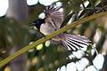 Madagascar paradise flycatcher white phase.jpg