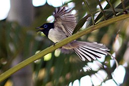 Madagascar paradise flycatcher white phase.jpg