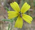 Madia gracilis 1.jpg