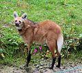 Maehnenwolf Chrysocyon brachyurus Tierpark Hellabrunn-4.jpg