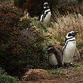 Magellanic Penguins at Otway Sound, Chile (5521311122).jpg