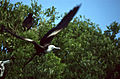 Magnificent Frigatebird (Fregata magnificens) immature (21629656934).jpg