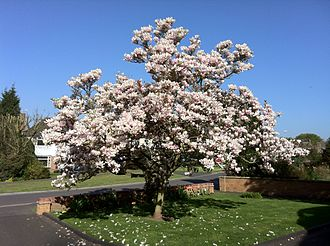 Magnolia × soulangeana - Magnolia × soulangeana, April 2011