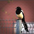 Magpie on the fence (27443584851).jpg