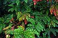 Mahonia japonica - Flickr - peganum (3).jpg