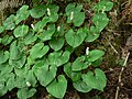 Maianthemum dilatatum 11112.JPG