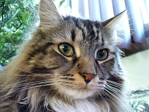 A Maine Coon cat.