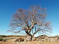 Majestic tree (3306944049).jpg