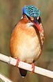 Malachite Kingfisher, Alcedo cristata at Marievale Nature Reserve, Gauteng, South Africa (21175363569).jpg