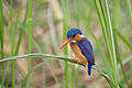 Malachite kingfisher - Queen Elizabeth National Park, Uganda (4).jpg