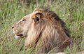 Male lion in the grass (13922380226).jpg