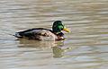 Male mallard duck.jpg