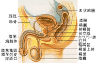 Male reproductive system lateral ja.png