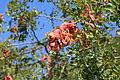 Malta - Floriana - Triq Vincenzo Bugeja - Argotti Botanic Gardens - Ceratonia siliqua 03 ies.jpg