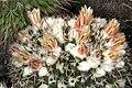 Mammillaria karwinskiana ssp colinsii pm 2.jpg