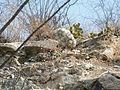 Mammillaria parkinsonii (5780091471).jpg