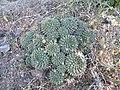 Mammillaria species (5729758149).jpg