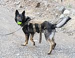 Man's best friend plays pivotal role in IED defeat 130227-A-TT250-324.jpg