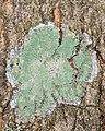 Mapledust Lichen (Lecanora thysanophora) - Gatineau Park 01.jpg