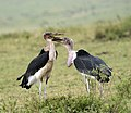 Marabou Stork Fighting 2.jpg
