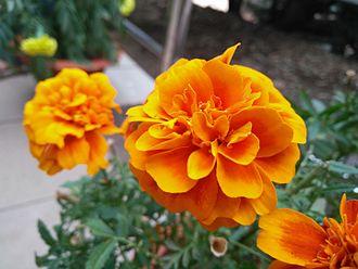 Tagetes patula - Marigold flower