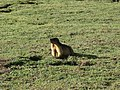 Marmot at dudipat.JPG