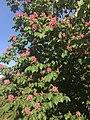 Marronnier d'Inde en fleurs.jpg