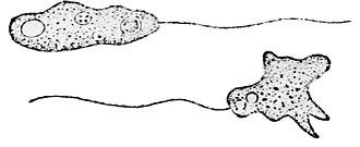 Amoebozoa - Image: Mastigamoeba invertens