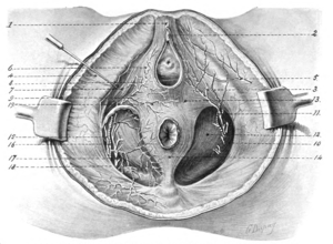 Dorsal nerve of the clitoris - 1, Suspensory ligaments of clitoris; 2, glans clitoridis ; 3, posterior superficial perineal nerve; 4, fascia lata; 5, inferior pudendal nerve; 6, sphincter vaginac muscle ; 7, erector clitoridis muscle; 8, superficial perineal artery; 9, transverse perineal artery ; 10, obturator fascia; 1 1, anterior superficial perineal nerve ; 12, anal fascia; 13, deep layer of superficial fascia ; 14, external sphincter ani muscle; 15, dorsal nerve of clitoris ; 16, internal pudic artery ; 17, perineal