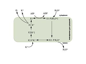 Hydrogen potassium ATPase