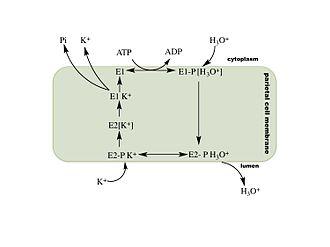 Hydrogen potassium ATPase - Image: Mechanism of hydrogen potassium AT Pase