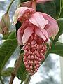 Medinilla magnifica (2944468678).jpg