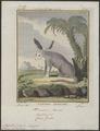 Megalotis cerdo - 1700-1880 - Print - Iconographia Zoologica - Special Collections University of Amsterdam - UBA01 IZ22200425.tif