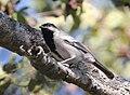 Melaniparus griseiventris, oog van Cuitorivier, Birding Weto, a (cropped).jpg