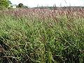 Melinis minutiflora habit1 (7185542609).jpg
