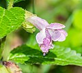 Melittis melissophyllum in Aveyron (3).jpg
