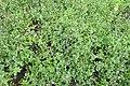 Mentha × piperita 'Nigra' kz02.jpg