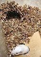 Meriones unguiculatus- albinos male - house & nest.jpg