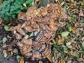 Meripilus giganteus 100269008.jpg