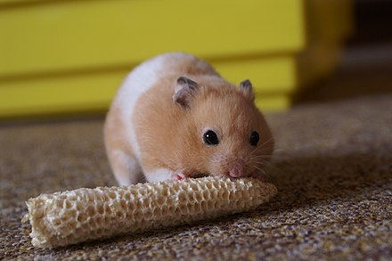 Syrian Hamster Care Wikiwand