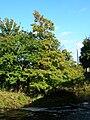 Metasequoia glyptostromboides at Kilwinning.JPG